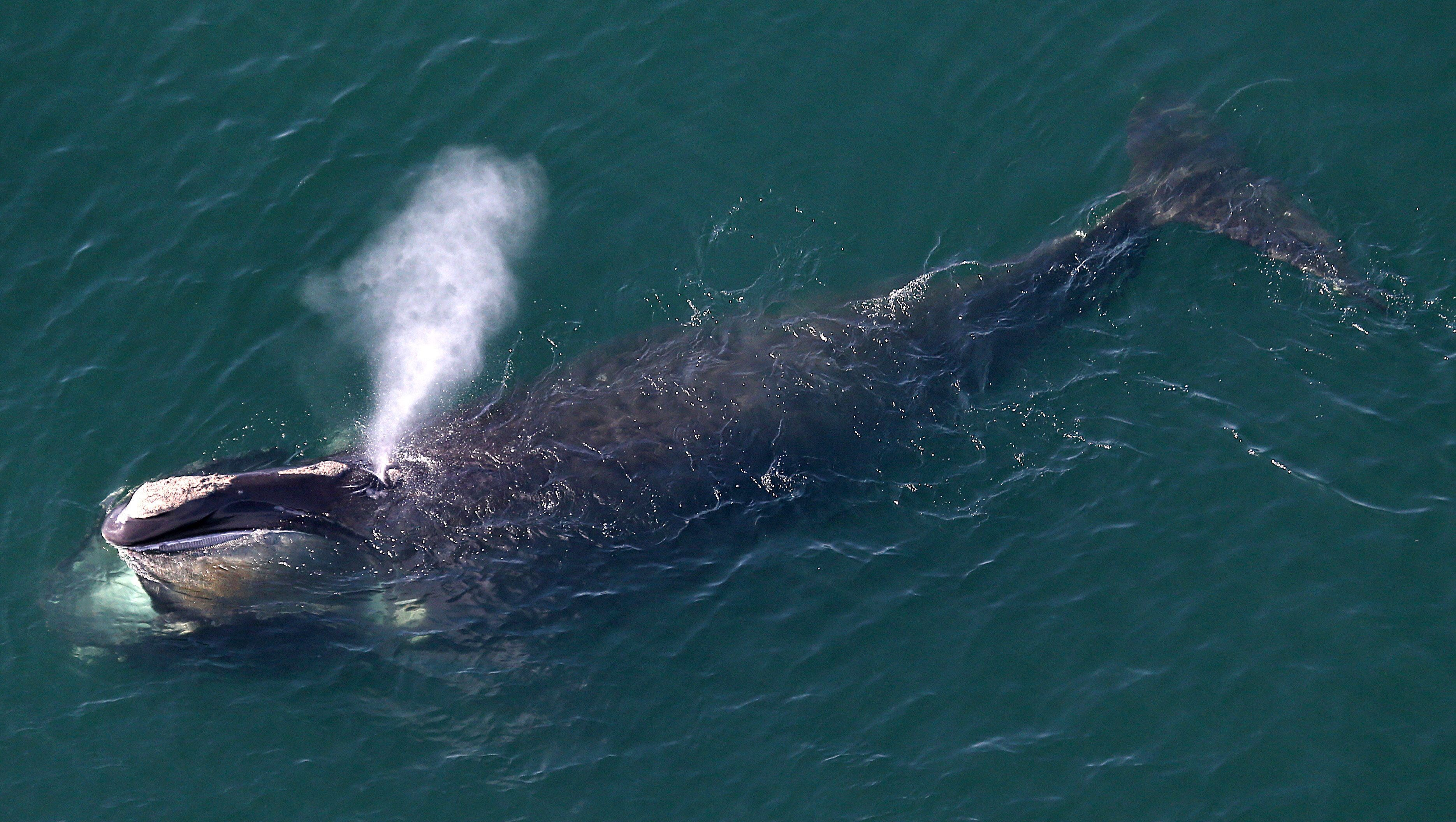 DUXBURY, MA - MAY 6: An aerial view of a right whale erupting from the blow hole while feeding off the shores of Duxbury Beach. There were groups of the North Atlantic right whales swimming off shore. The critically endangered animals are making a comeback since they were nearly hunted to extinction a century ago. They are also making a habit of appearing off the local coastline in the spring. The whales feed on copepods by opening their mouths as they swim through masses of the tiny, but fat-rich, creatures. (Photo by David L. Ryan/The Boston Globe via Getty Images)