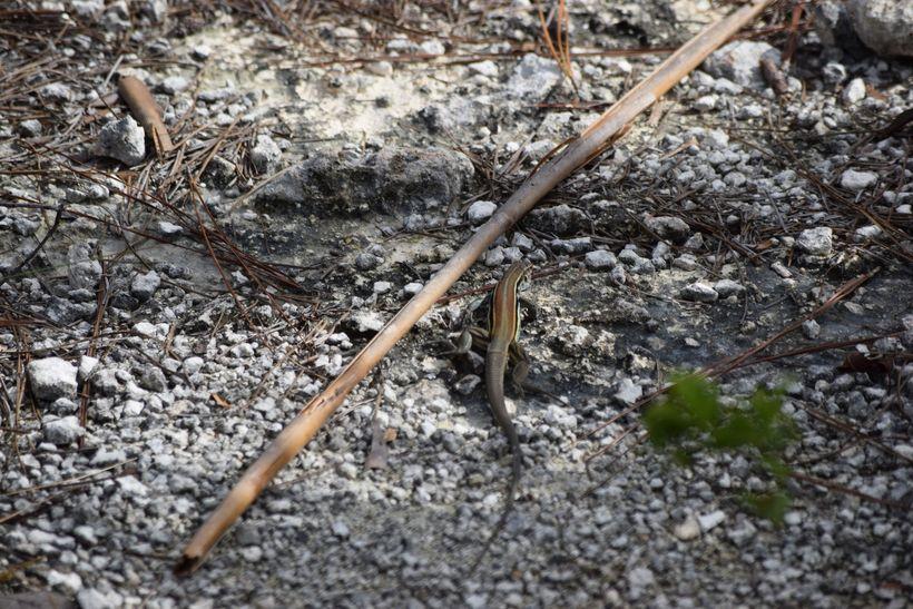 Cuban Whiptail Lizard