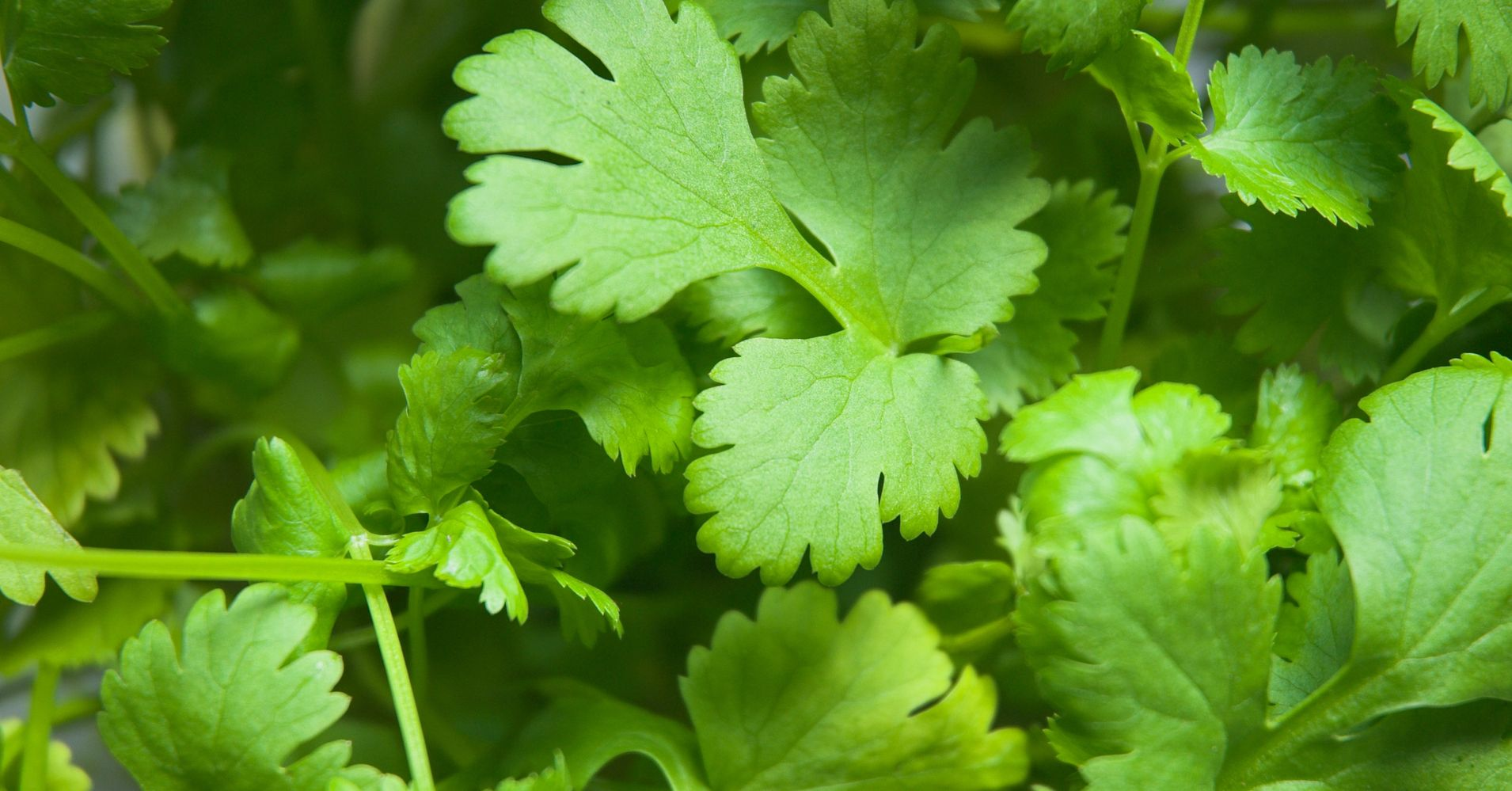 Image result for CORIANDER