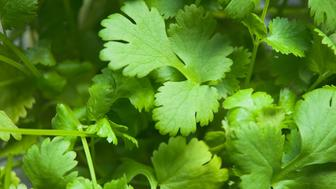 Macro of corriander leaves.