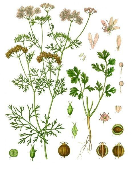 A look at all the parts of the coriander plant.