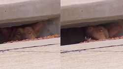 Rebel Dog Makes Home In Storm Drain And Refuses Capture For
