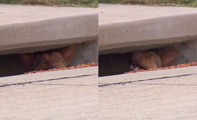 A dog is seen poking its nose out of a storm drain in a neighborhood west of Dallas,
