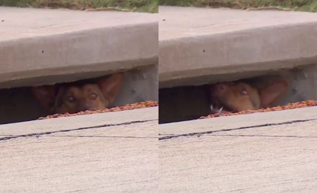 A dog is seen poking its nose out of a storm drain in a neighborhood west of Dallas, Texas.