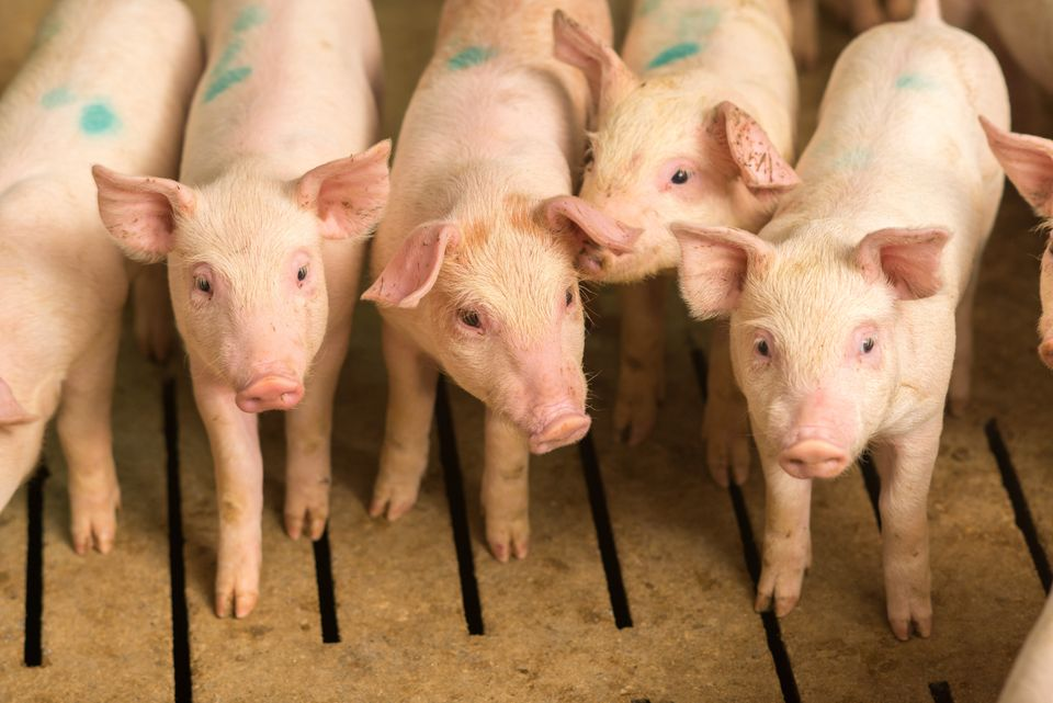 Animal Aid is calling for the future government to push ahead with legislation that requiresmandatory...