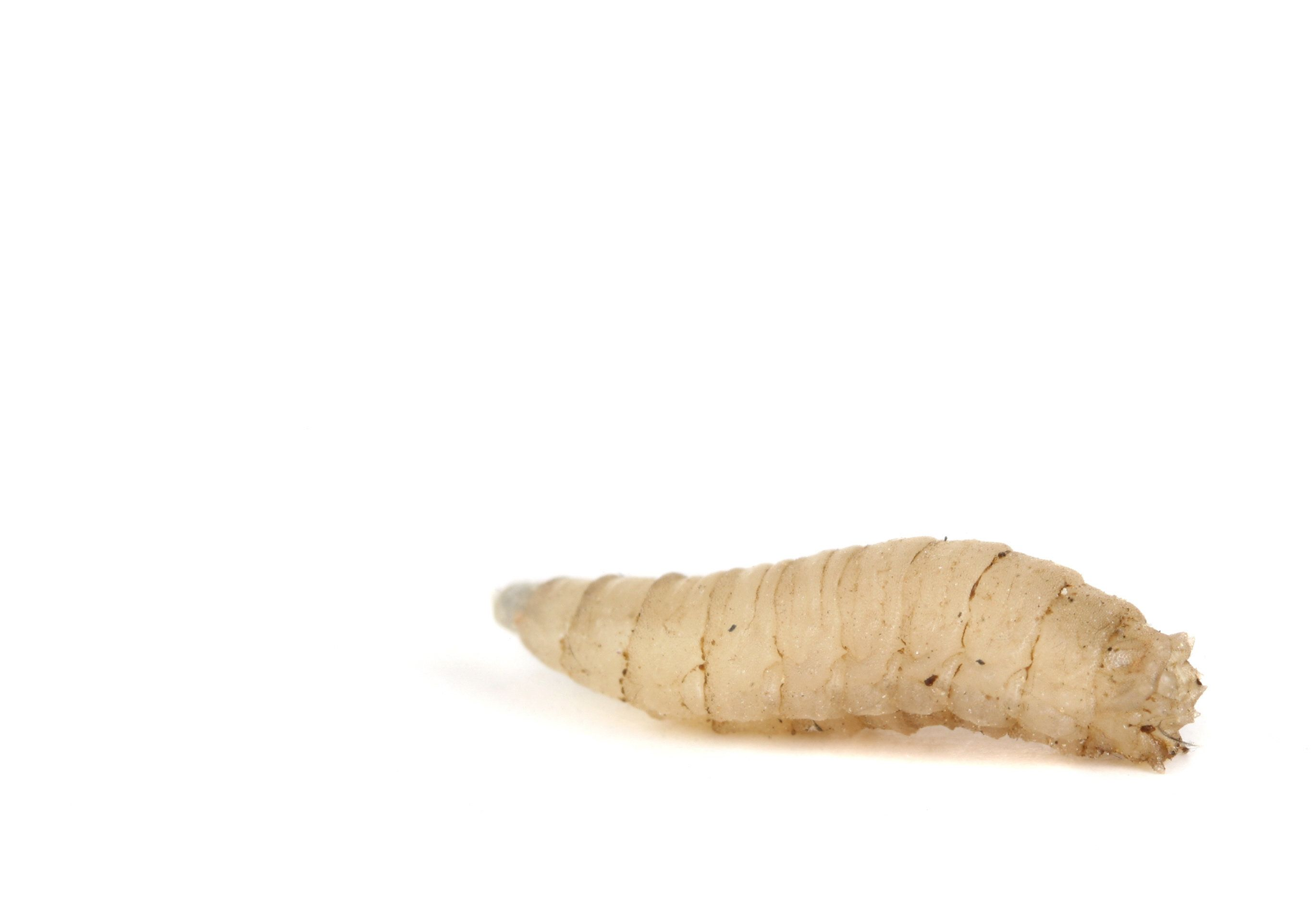 A farm is southwestern China buys leftovers from restaurants and feeds them to maggots. The insects are...