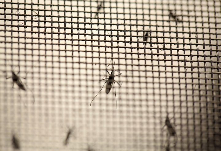 Aedes aegypti mosquitoes are seen at the Laboratory of Entomology and Ecology of the Dengue Branch of the U.S. Centers for Di