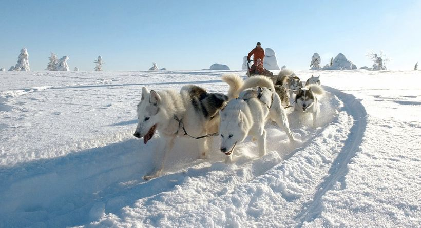 Husky dog sledding in the winter