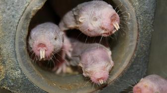 Four naked mole-rats are seen in a University of Illinois at Chicago laboratory in an undated photo released April 20, 2017.   Courtesy of Thomas Park/UIC/Handout via REUTERSTHIS IMAGE HAS BEEN SUPPLIED BY A THIRD PARTY. IT IS DISTRIBUTED, EXACTLY AS RECEIVED BY REUTERS, AS A SERVICE TO CLIENTSFOR EDITORIAL USE ONLY. NO RESALES. NO ARCHIVES