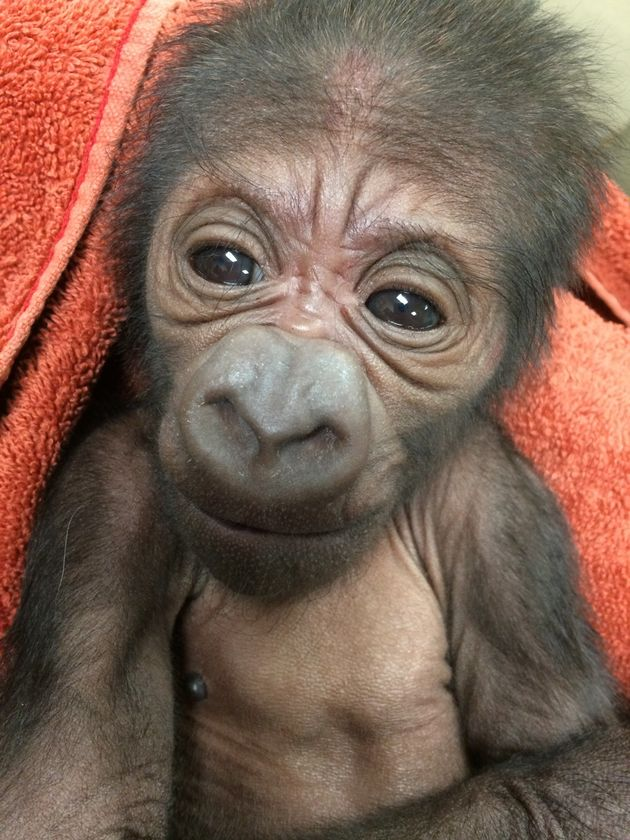 An Endangered Gorilla Gave Birth And The Baby Photos Are