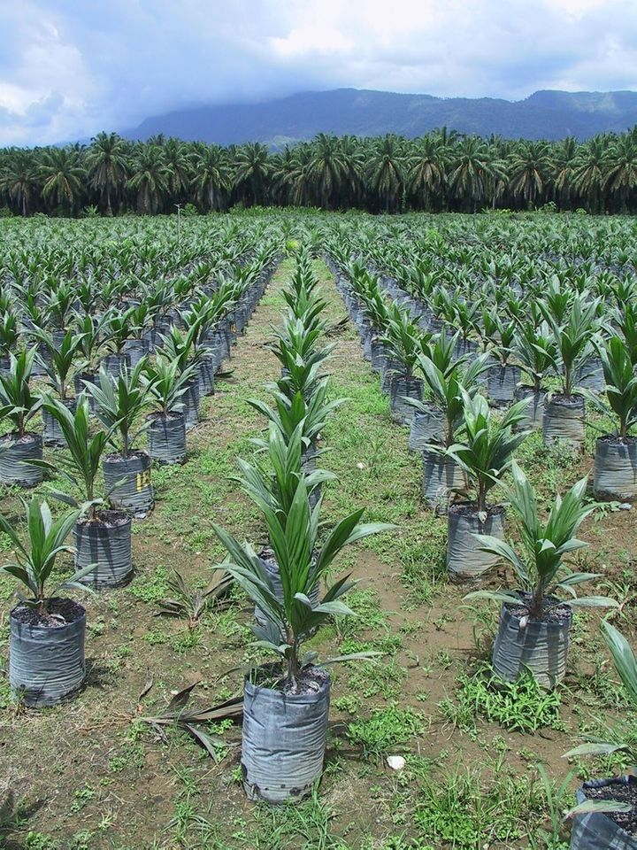 Oil palm nurseries should come from certified material for successful ecological intensification of productivity.