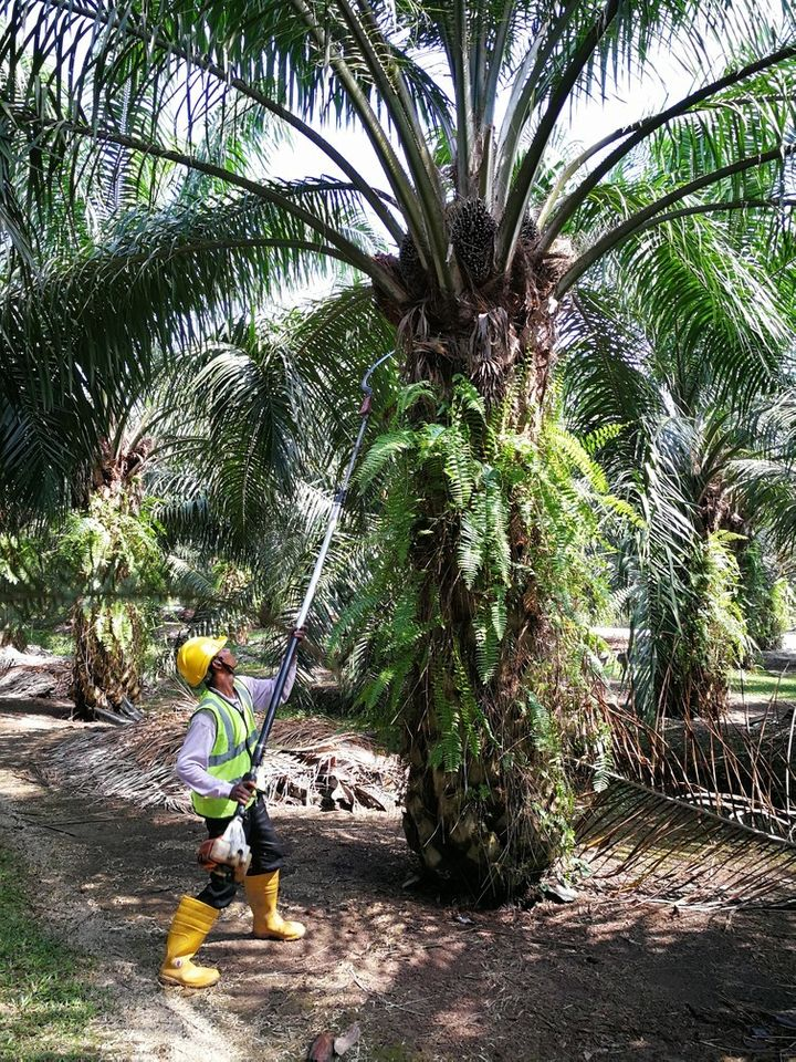 Harvesting oil palm is still a manual operation globally