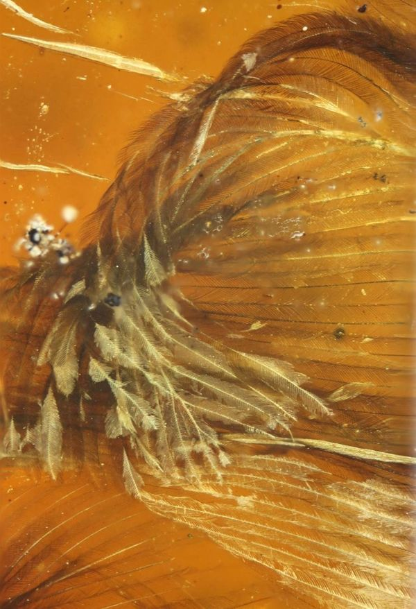 A part of a wing encased in theamber that contains the remains of a 99-million-year-old fossilized bird.
