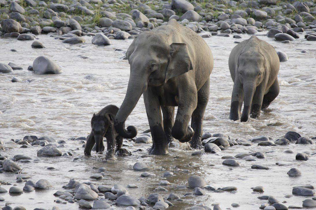 The poaching threat facing elephants in Myanmar has reached