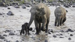 Asian Elephants Killed For Their Skin In Emerging Poaching