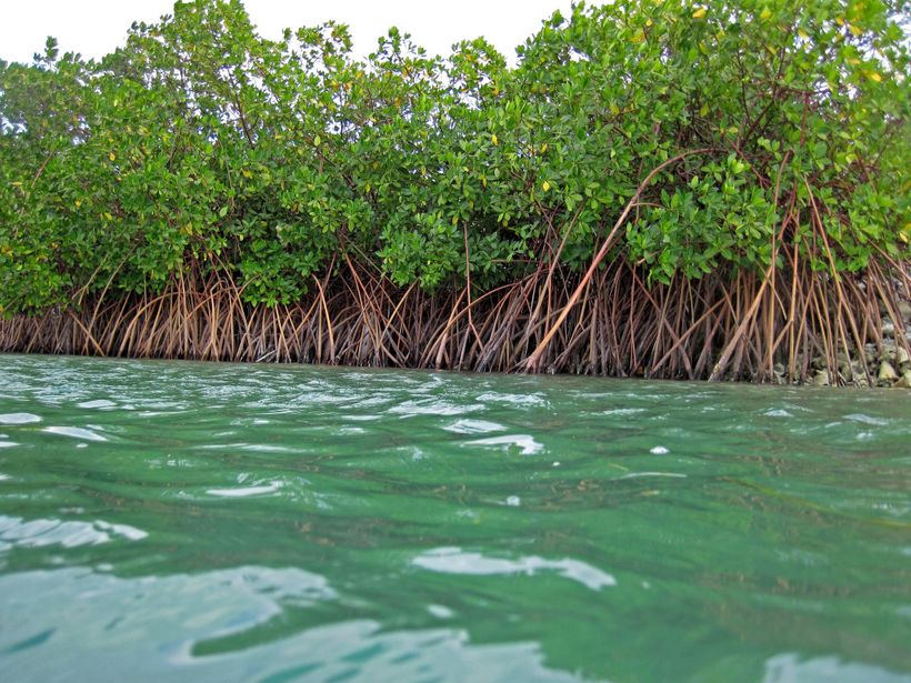 Mangroves are the 'superstars' among nature-based solutions to climate change