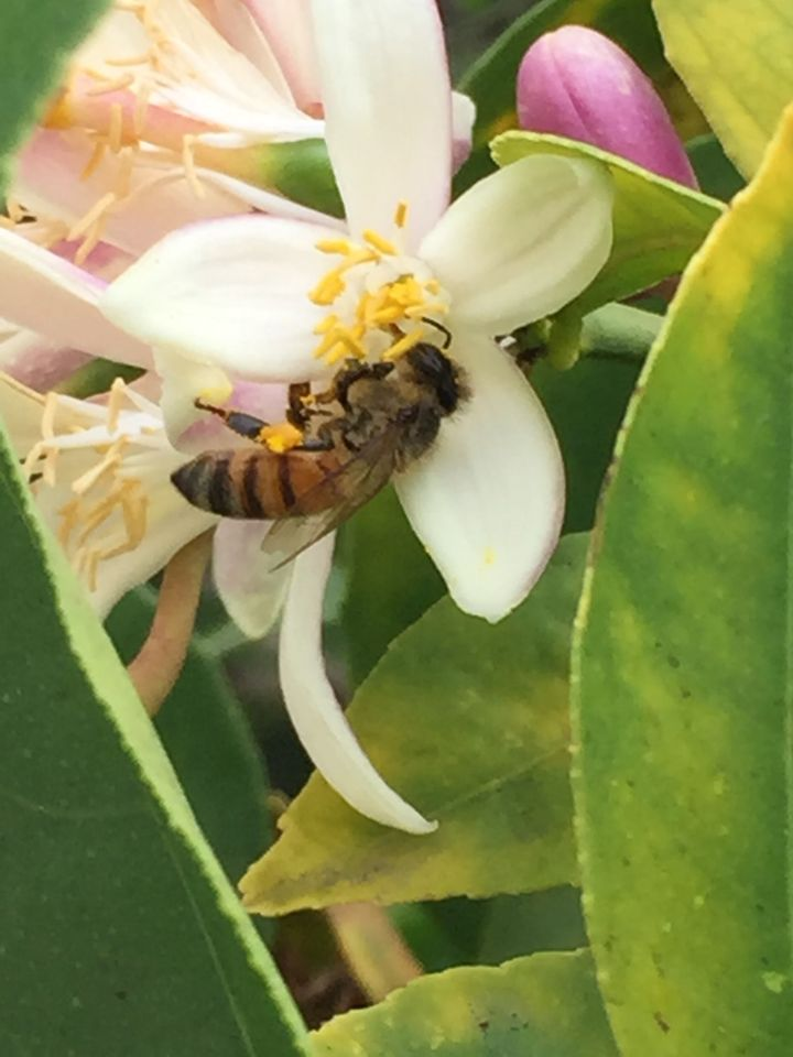 Honeybee loading pollen into her corbicula (or pollen basket) from lemon blossom in Hollywood, Calif.