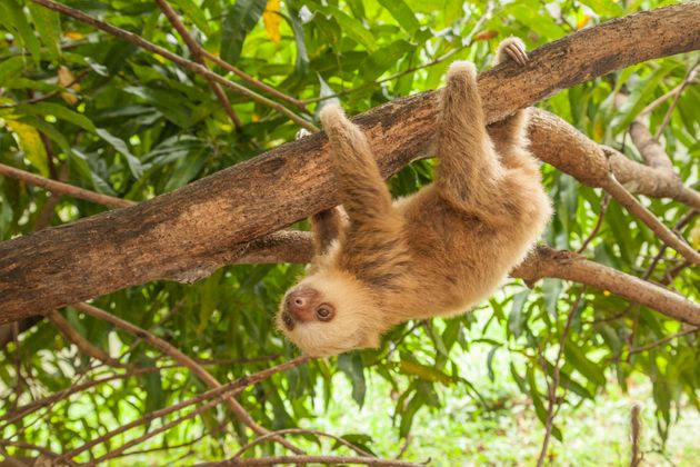 Should I Get a Pet Sloth?   HuffPost