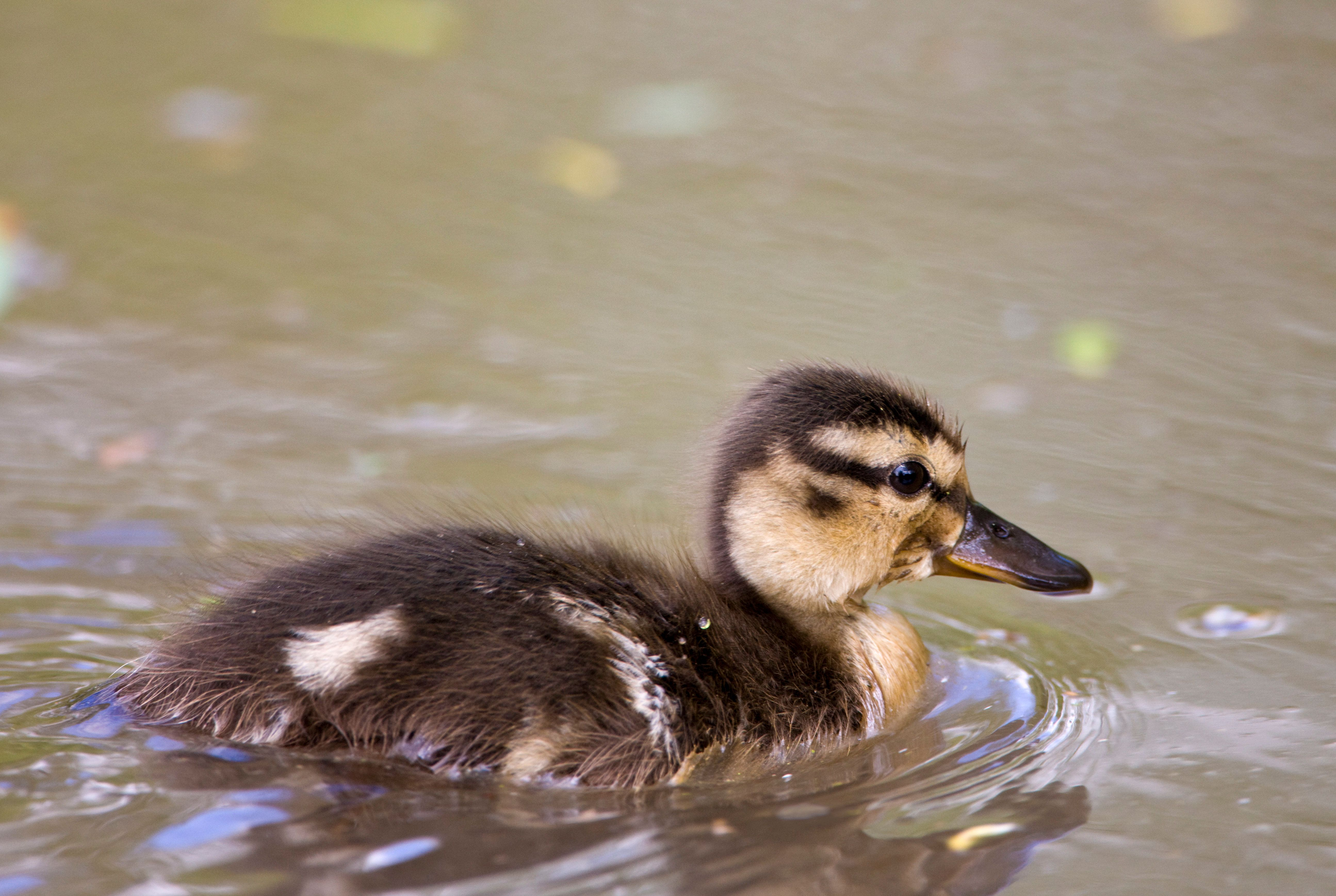 UNITED KINGDOM - MAY 12:  Mallard duckling in stream in The Cotswolds, Oxfordshire, England, United Kingdom  (Photo by Tim Graham/Getty Images)