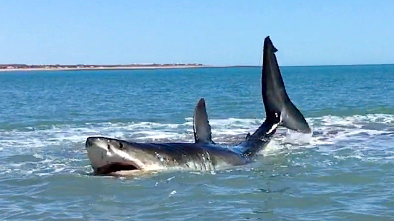 'Holy S***!': Man Films Massive Great White Thrashing In Shallow