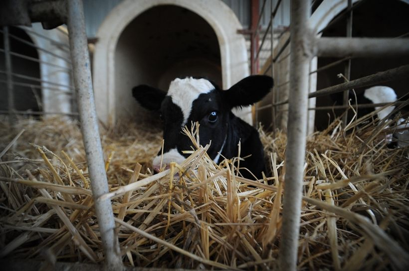 On all dairy farms, babies are taken from their mothers at birth and isolated, causing immense distress to both.