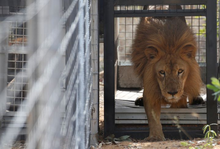 The two lionswere amonga group of 33 that had been rescued from circuses in Peru and Colombia. One of the rescued