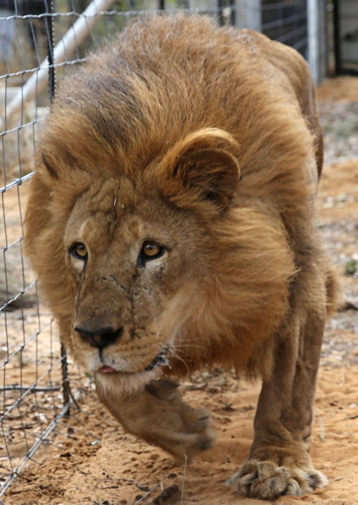 One of the rescued lions is seen walking around its new home in South Africa last spring.