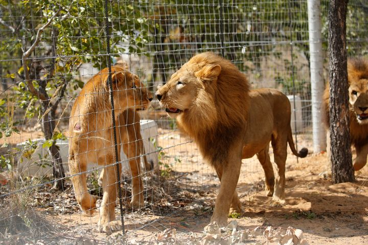 Some of the 33 lions rescued from circuses in Peru and Colombia are seen after being released at Emoya Big Cat Sanctuary in S