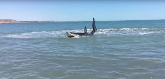 The injured great white shark was found thrashing in shallow waters off Baja California,