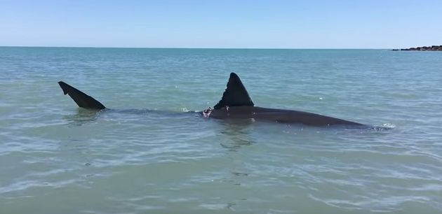 It's believed the shark was injured by a boat