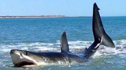 14ft Great White Shark Filmed Thrashing In 3ft Of