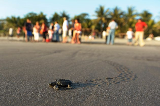 A baby olive ridley turtle. The gill net rule would have protected olive ridley sea turtles off the Pacific...