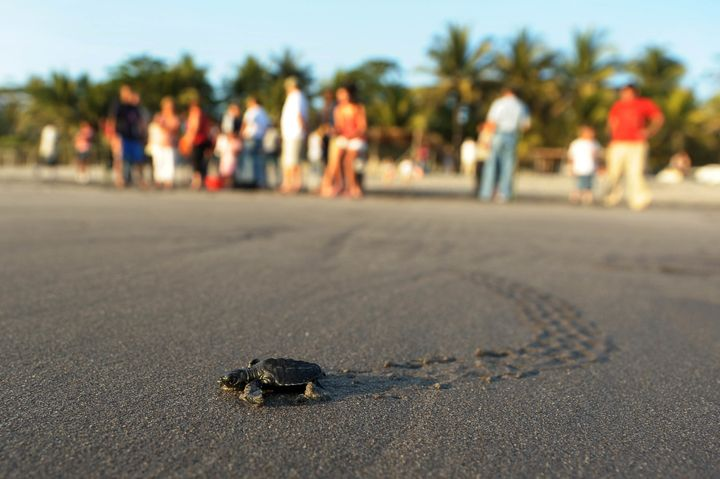 A baby olive ridley turtle. The gill net rule would have protected olive ridley sea turtles off the Pacific Coast, as well as