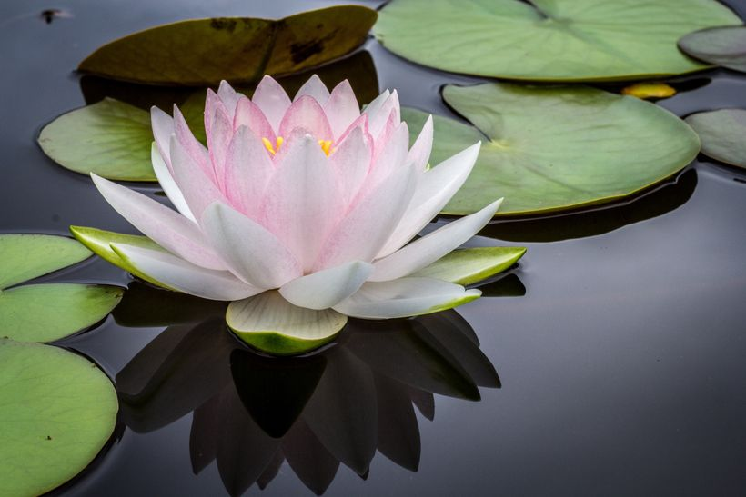 The elegant simplicity of buddhist love huffpost picture of a lotus flower blooming in a still pond surrounded by lily pads mightylinksfo