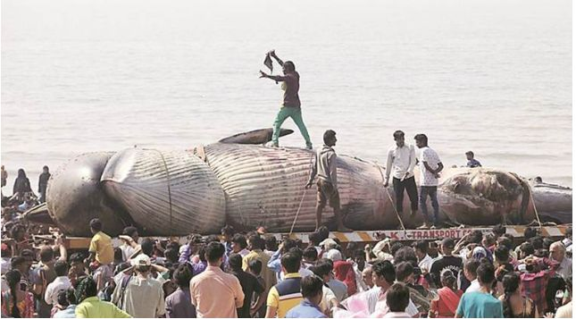 Another Bryde whale carcass stranded along Juhu Beach, Mumbai, India.