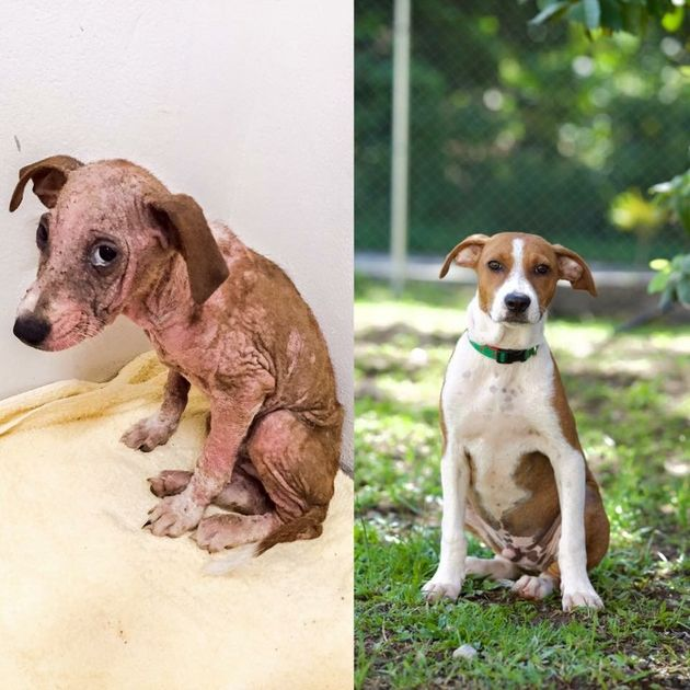 A before-and-after photo of one of the dogs HelpAWS rescued in the