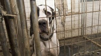 A Great Dane looks sadly out of his cage at a suspected puppy mill in New Hampshire