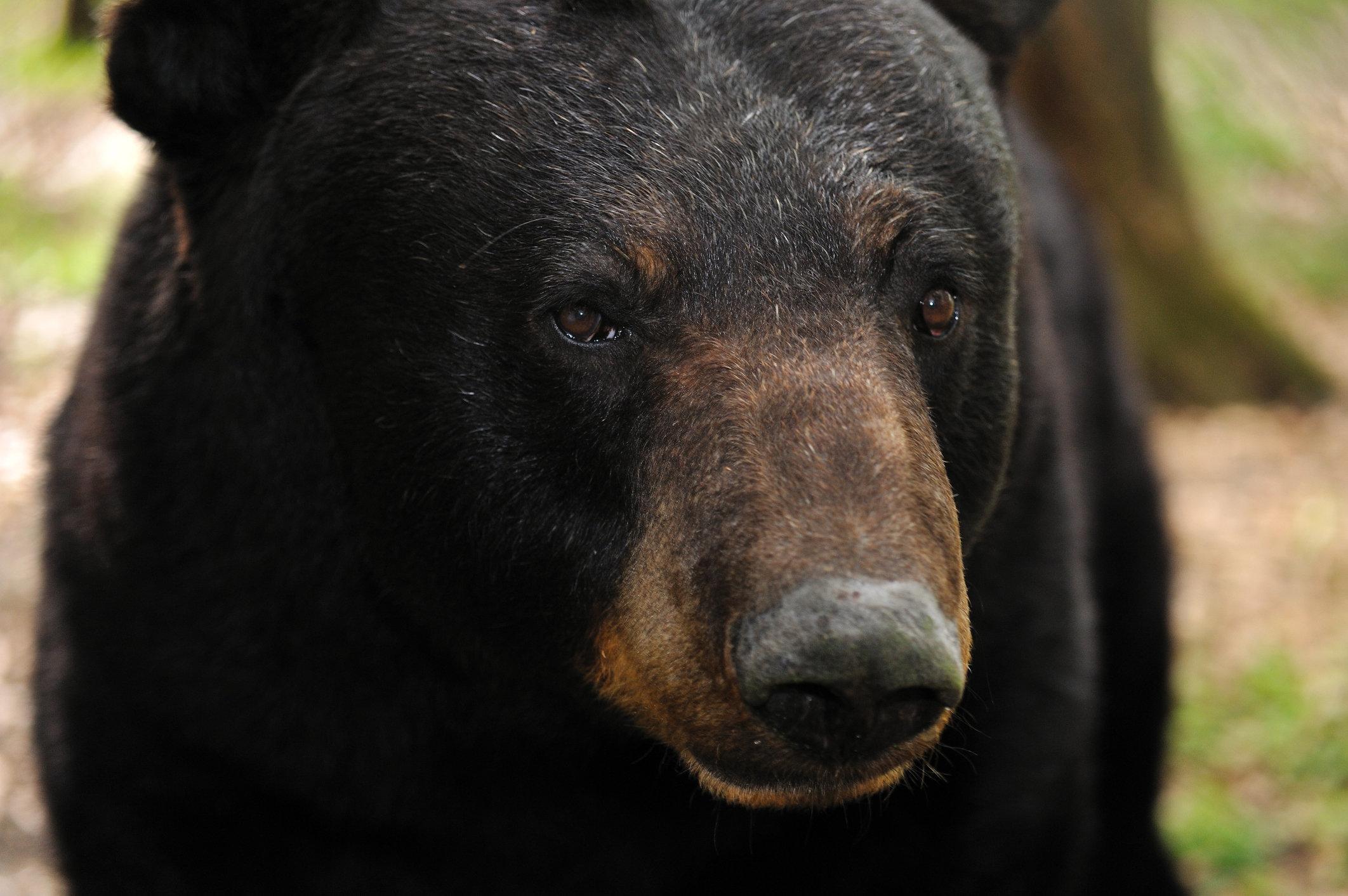 Black Bear Kills Teen Runner Midway Through Alaska Trail