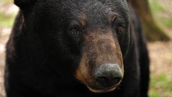 Black bear (Ursus americanus) captive, Florida, USA