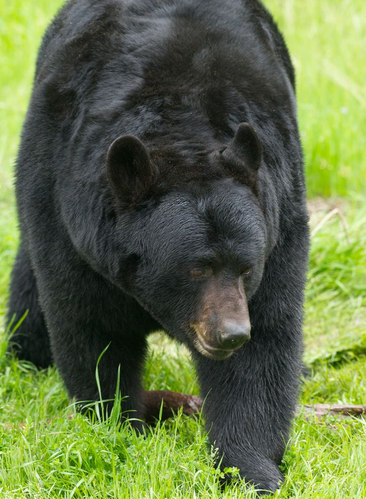 Black bear photographed walking through grass. The bear that mauled a teenage Alaskan runner stayed with the body.