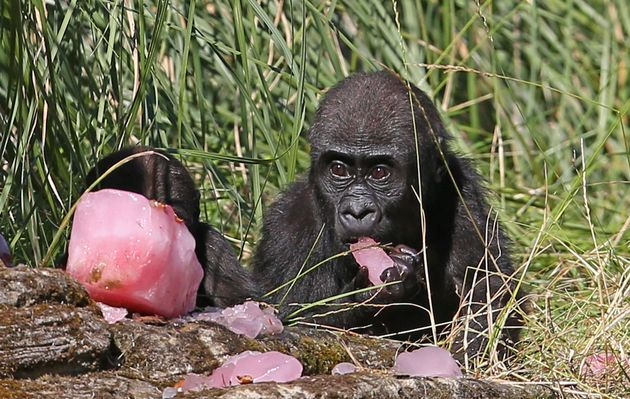 Western lowland gorillas eat a fruit tea ice block with hazelnuts at London Zoo, to help cool