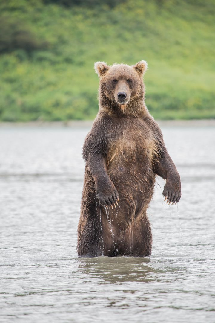 When it comes to brown bears, also known as grizzly bears, wildlife officials advise people to play dead if attacked.