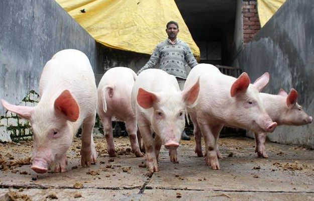 <p>JE virus can be transmitted directly between pigs, without a mosquito go-between. </p>