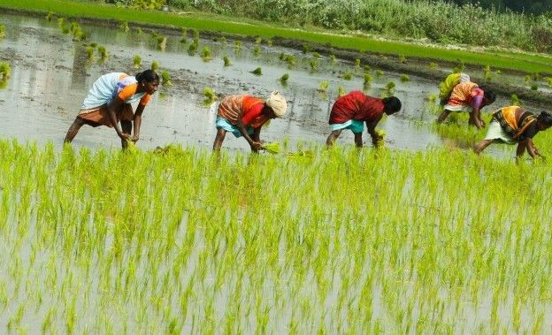 <p>Mosquitoes carrying JE virus breed in rice paddies. </p>
