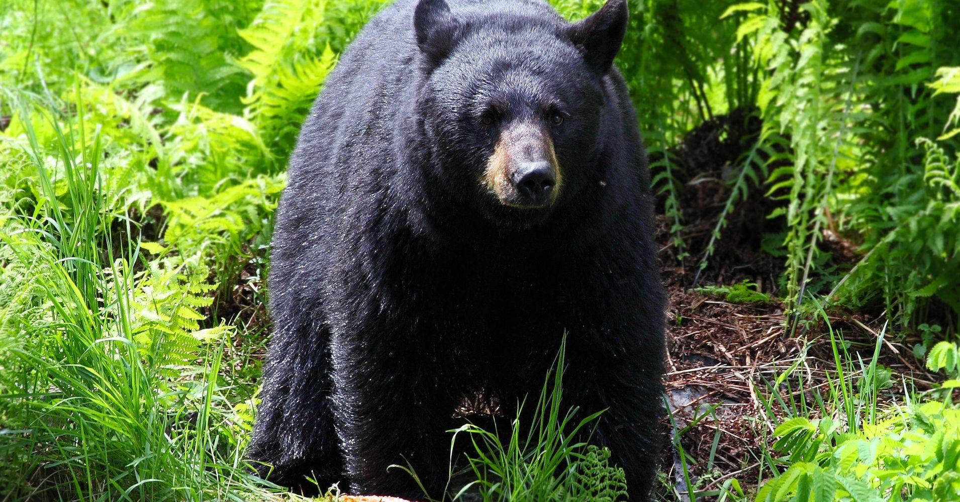 2 'Really Odd' Fatal Black Bear Attacks Concern Wildlife Experts