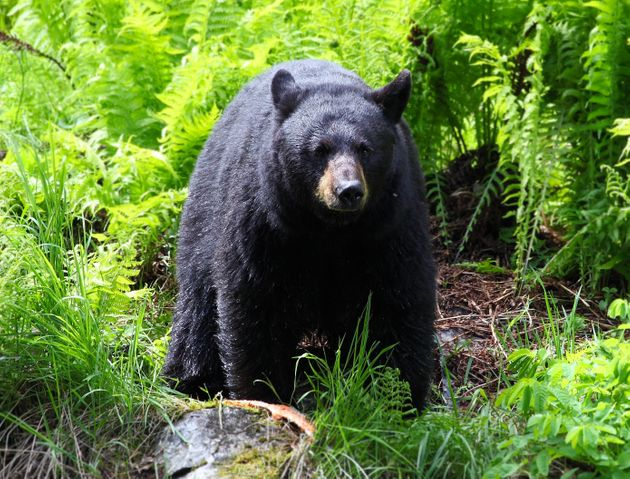 Wildlife officials recommend fighting back if attacked by a black bear, which is more likely to attack...