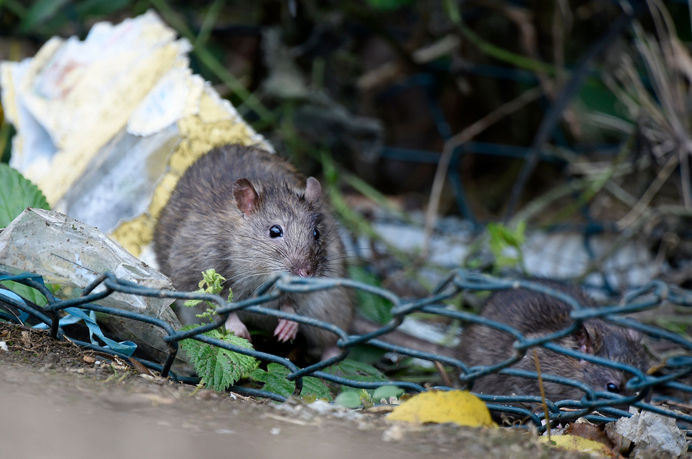 """""""City rats are among the most important but least-studied wildlife in urban environments,"""" according to a new study published"""