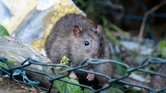 TODDINGTON, UNITED KINGDOM - OCTOBER 19: Two Brown rats looking for food in the lorry park on October 19, 2016 in Toddington, England.  There is a massive infestation of Brown rats at the Toddington Services on the M1 motorway. The Brown rat (rattus norvegicus) is the carrier of many diseases including leptospirosis and Weil's disease.  The rats appear to live in the boundary between the service station and the lorry park and feed on what the lorry drivers throw out for them. The ground behind the lorries is strewn with everything from discarded paper to food stuffs. The toilets are just 100m away and there are bins all around the site. The place smells and is like a latrine with drivers peeing all around their vehicles.  In general the site is clean and tidy apart from this area. Stand still for a moment and the rats appear in broad daylight, often several at a time gorging on the free food.  PHOTOGRAPH BY Tony Margiocchi/Barcroft Images  London-T:+44 207 033 1031 E:hello@barcroftmedia.com - New York-T:+1 212 796 2458 E:hello@barcroftusa.com - New Delhi-T:+91 11 4053 2429 E:hello@barcroftindia.com www.barcroftimages.com (Photo credit should read Tony Margiocchi/Barcroft Images / Barcroft Media via Getty Images)