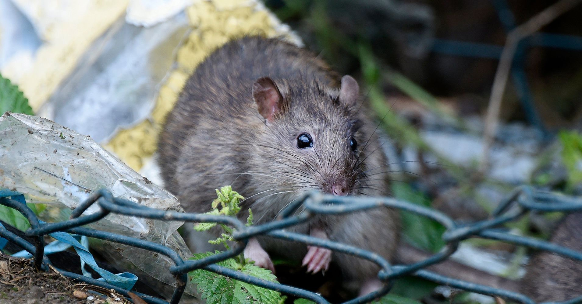 New Yorkers, Scientists Will Pay $1,000 To Study Your Rat Infestation