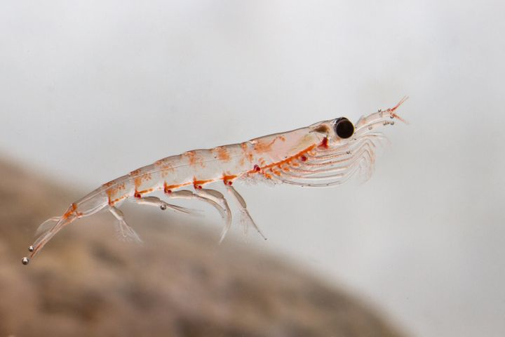 Zooplankton such as krill could be killed by seismic blasting, which could negatively impact thousands of species of marine l